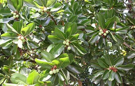 macadamia-tree