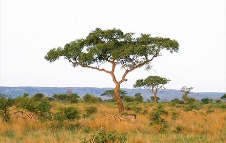 marula-tree