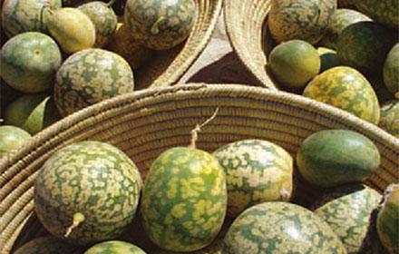 Kalahari Melon (Citrullus lanatus)