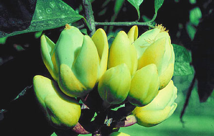 Painya / Kpangnan (Pentadesma butyracea)