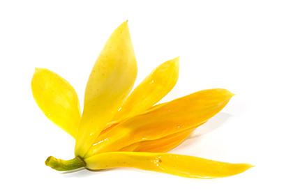 champaca-gold