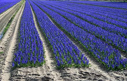 jacinthe-field