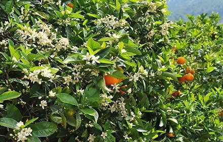 orange-blossom-tree