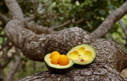 pequi-on-tree