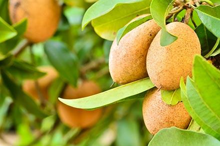 sapote-tree