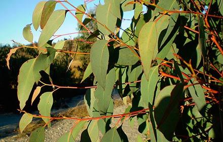 strawberry-gum-(eucalyptus-olida)