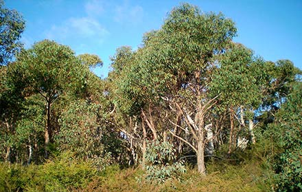 strawberry-gumn-tree-(eucalyptus-olida)